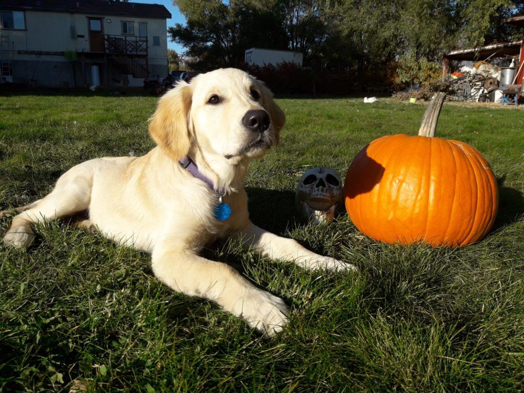 Golden Retriever with a pumpkin