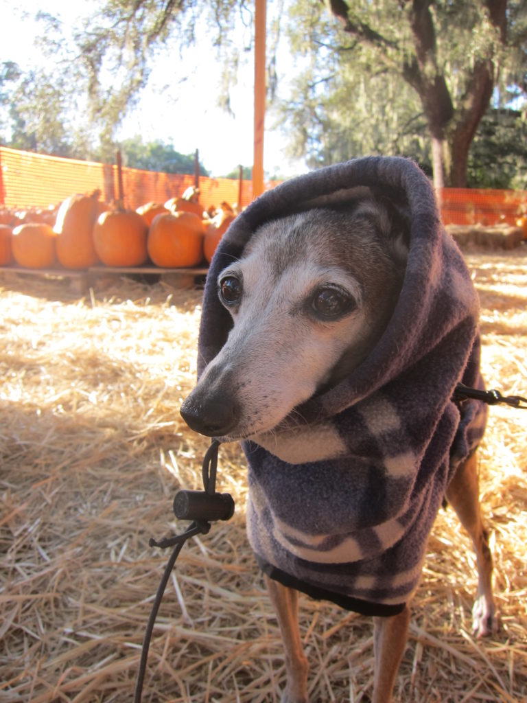 Italian Greyhound in a hooded sweatshirt in a pumpkin patch