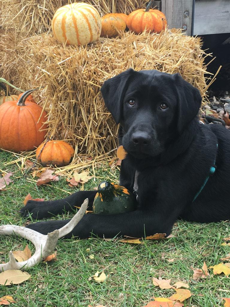 Labrador Retriever at a pumpkin patch