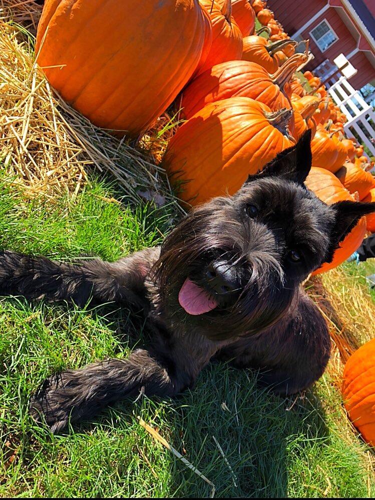 Standard Schnauzer in a pumpkin patch