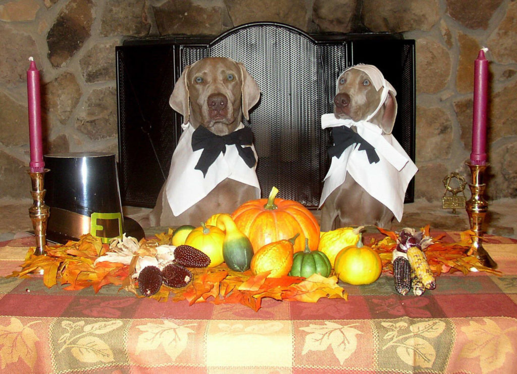 Weimaraner dogs at a Thanksgiving Table dressed up as pilgrims