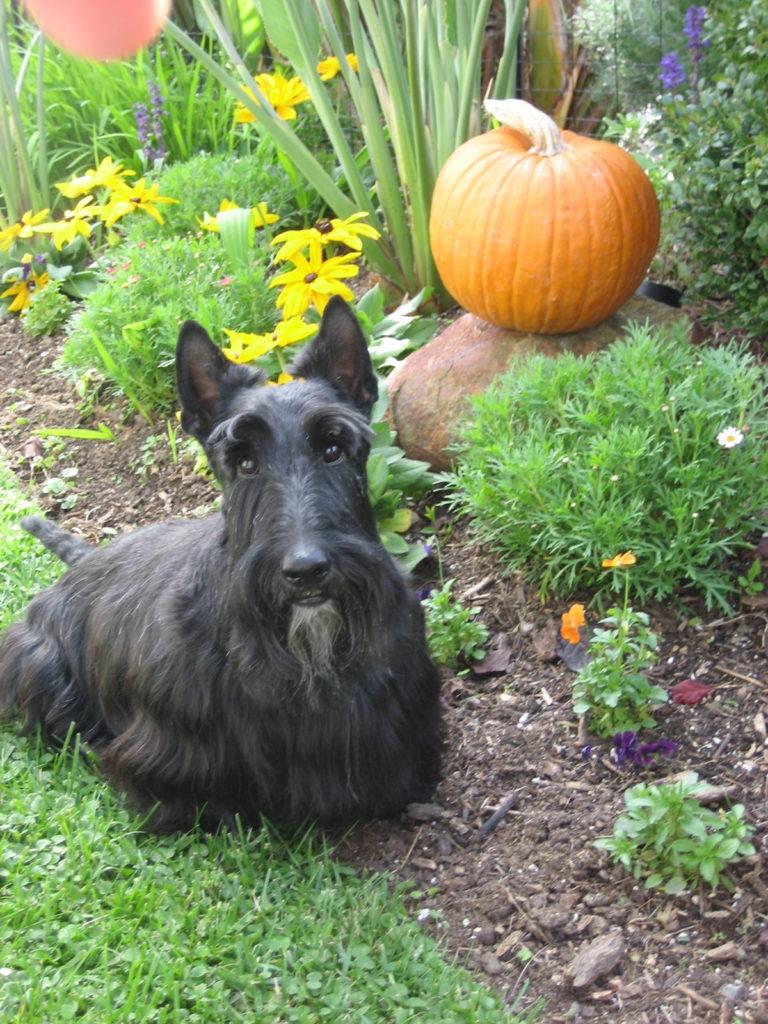 Scottish Terrier with a pumpkin