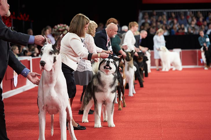 Dog Shows 101: How Do Dog Show Competitions Work?
