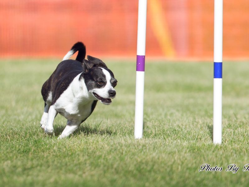 The Road To Orlando Meet The Akc Agility Invitational Contenders