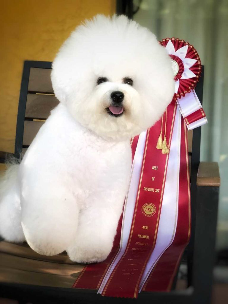 Bichon-frise-red-ribbon