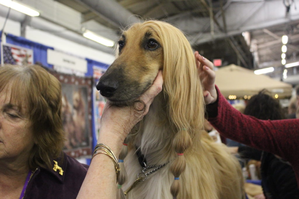Afghan Hound at Meet the Breeds
