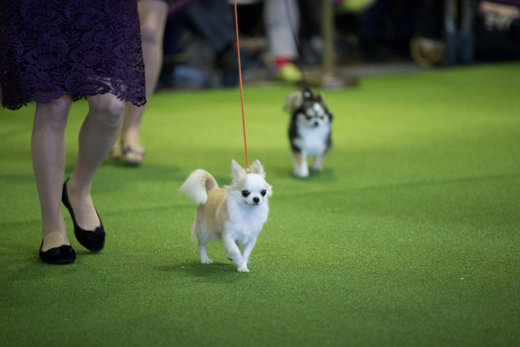 Favorite Dog Breeds to Never Win The Westminster Kennel Club Dog Show