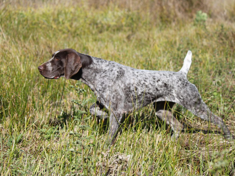 German Shorthaired Pointers 10 Fun Facts About These All Around Dogs
