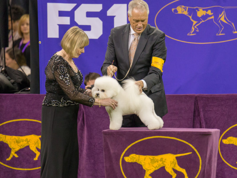Flynn the Bichon Frise Retires After the Westminster Dog