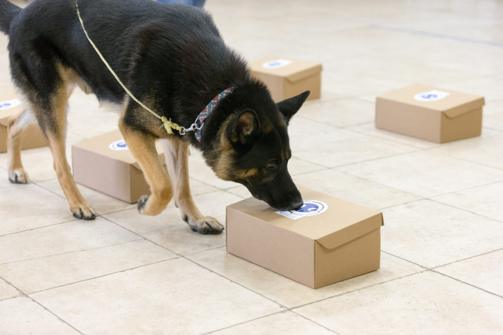 German Shepherd Dog doing AKC Scent Work