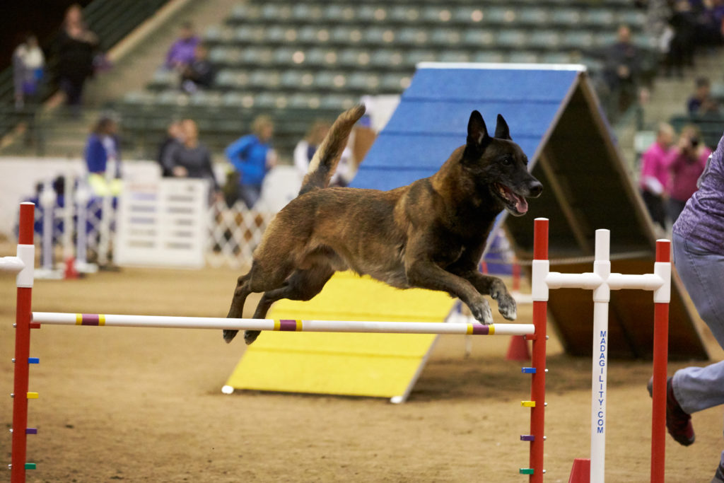 How To Watch Akc S March Dog Shows American Kennel Club