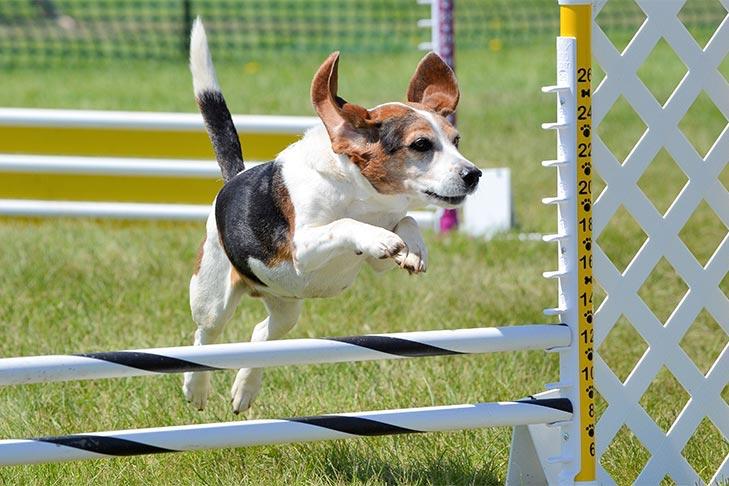 Beagle saltando sobre un salto en un curso de agilidad al aire libre.