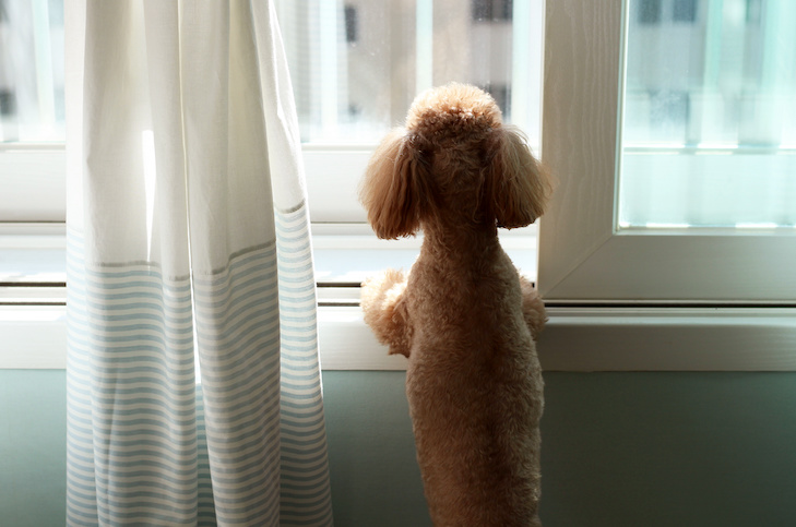 Poodle looking out the window at home.