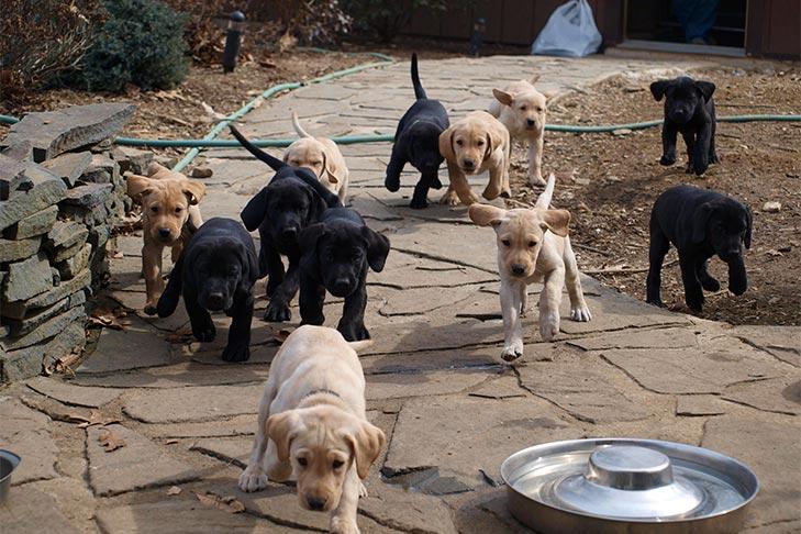 Why Are Labrador Retrievers so Popular? Versatility & Temperament
