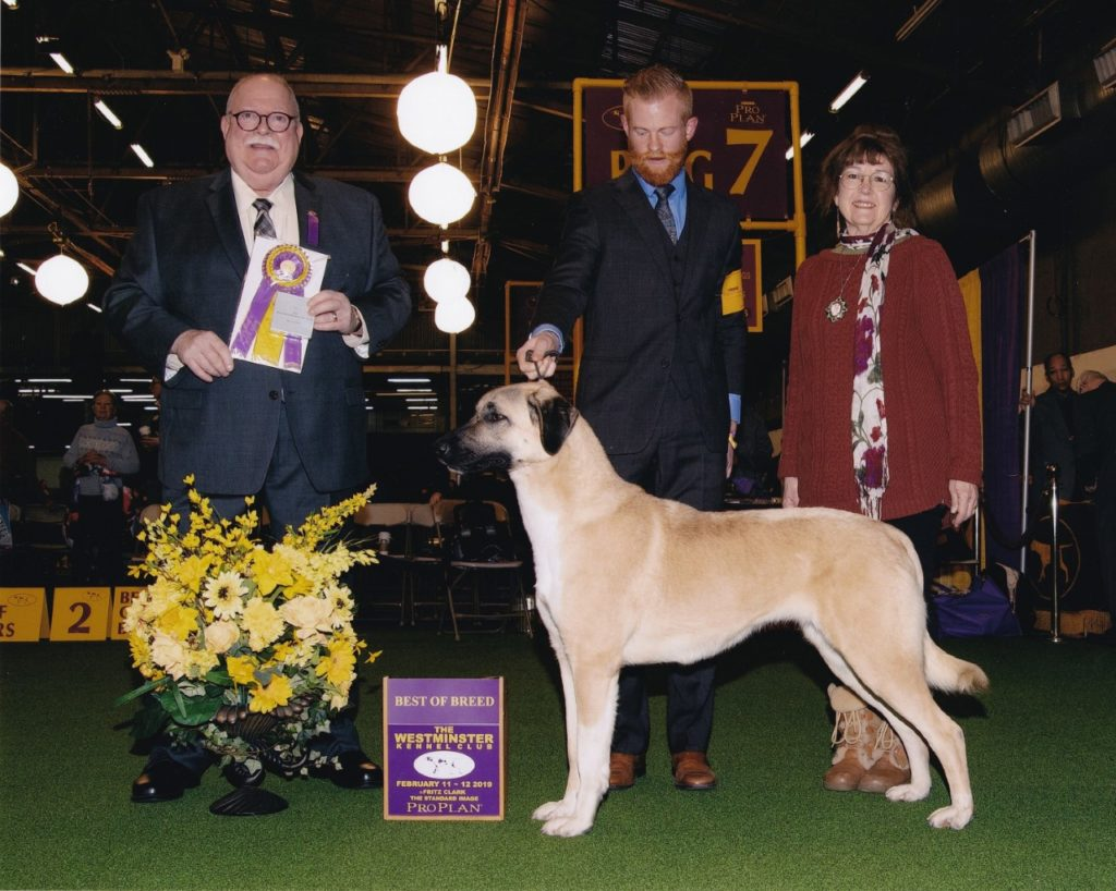 Judge Douglas Holloway, Jr awards Tallulah Best of Breed at the Westminster Kennel Club Dog Show in New York City in February. Handler Stuart McGraw stands alongside breeder/owner Lesley Brabyn. Photo by Fritz Clark.