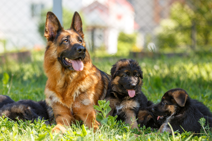 10 Things Only German Shepherd Dog Owners Will Understand