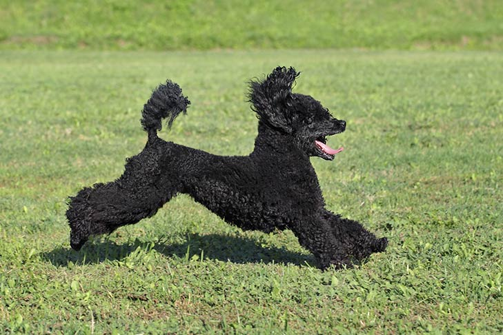 Poodle Miniature Dog Breed Information American Kennel Club