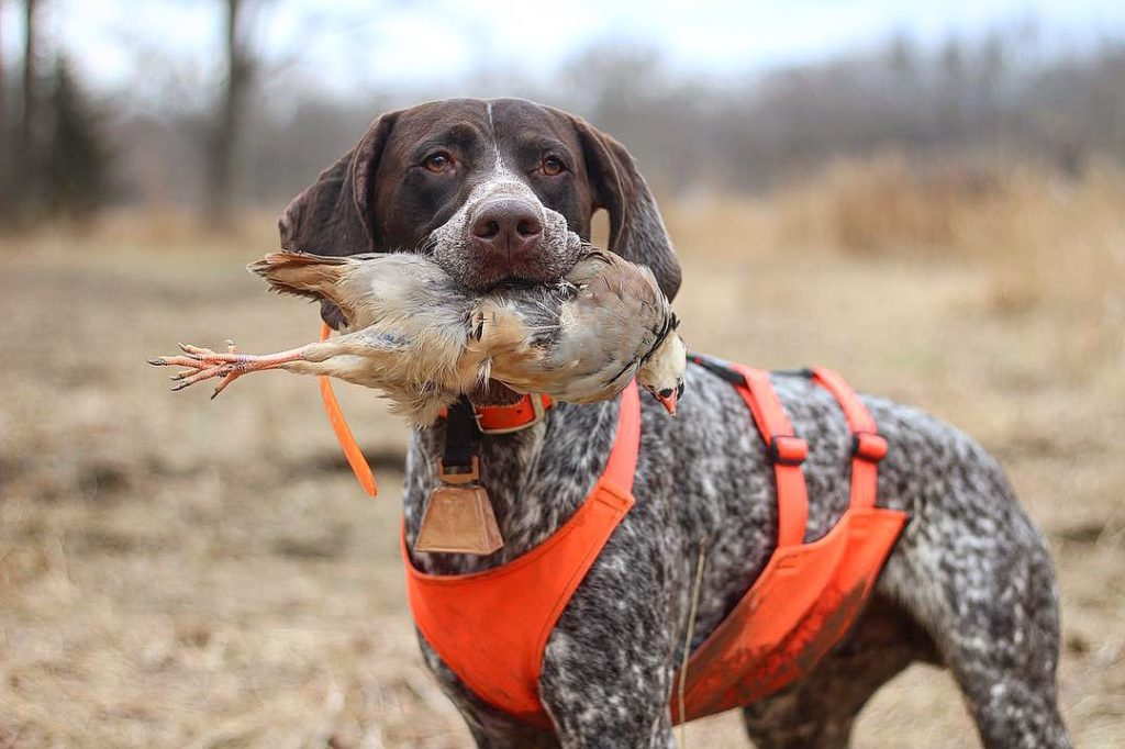 German Shorthaired Pointer with a game bird in its mouth