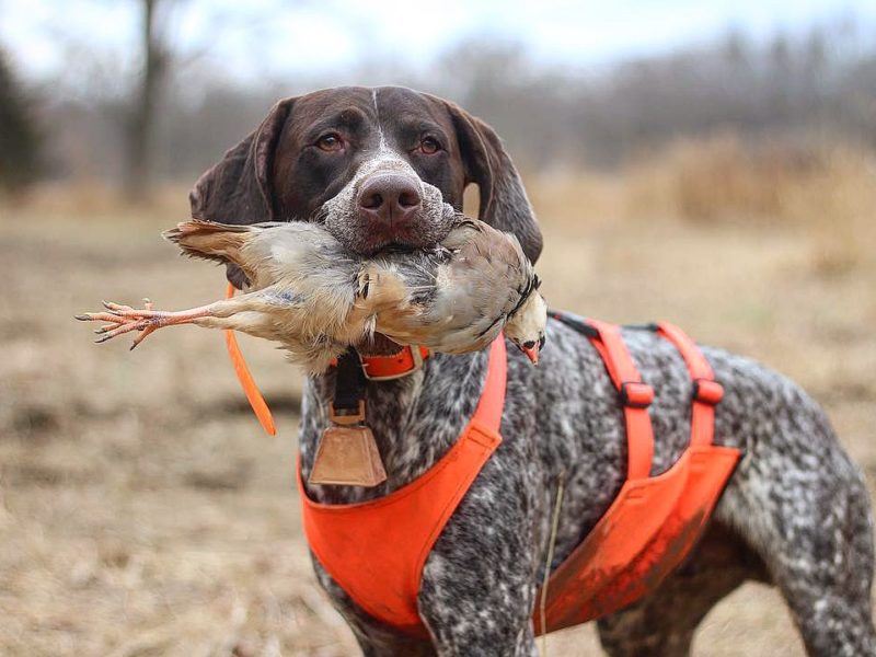 Dog Star of the Month: Ruger the German Shorthaired Pointer – American  Kennel Club