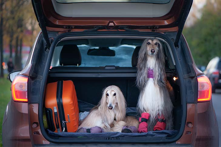 Two Afghan Hounds sitting in the back of a car with an open hatchback next to luggage.