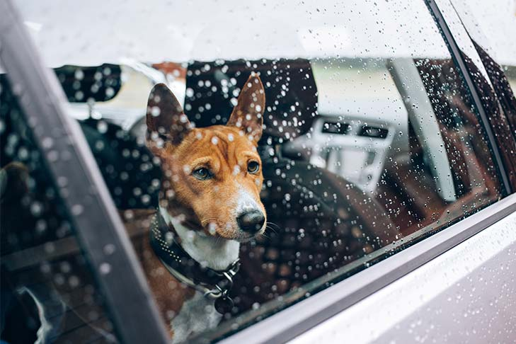 Basenji looking out of a car window in the rain.