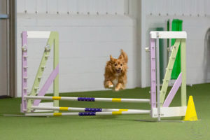 Competition Update Spring 2019 – American Kennel Club