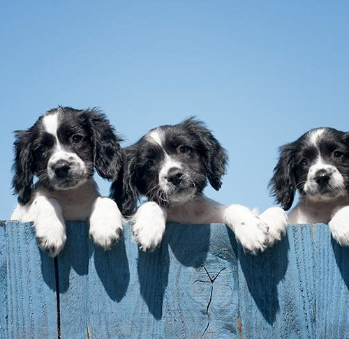 How To Spot A Puppy Scam American Kennel Club