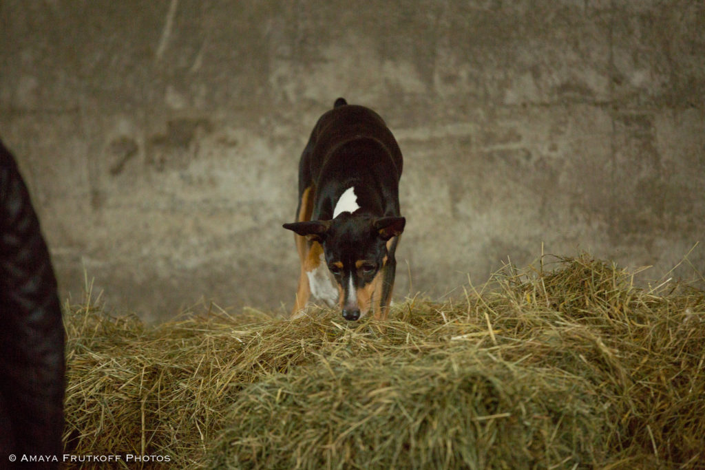 Dog Star of the Month: Kit the Rat Terrier - American ...