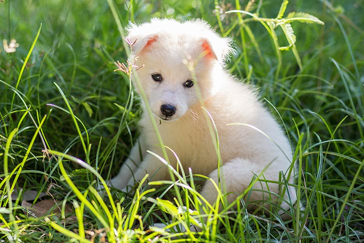 Japanese Spitz puppy sitting in tall green grasses outdoors in the sunshine.