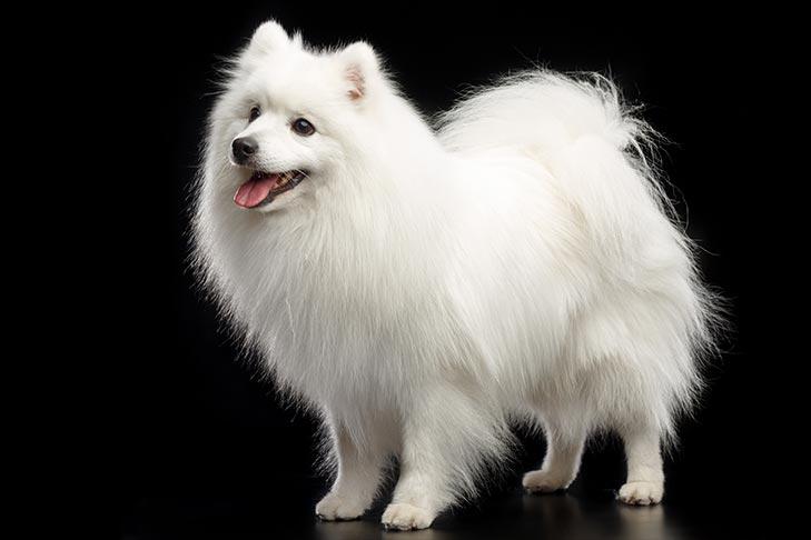 Japanese Spitz Dog Breed Information American Kennel Club