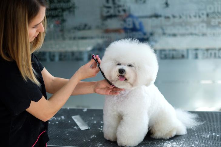 Friso de Bichon en un salón de peluquería canina.