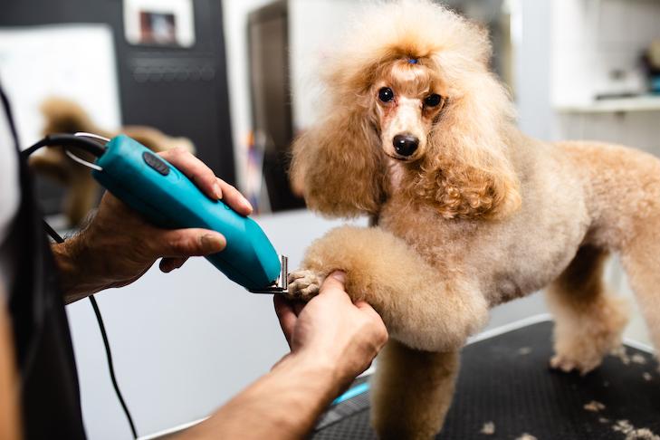 Poodle obteniendo su cortador de uñas en el salón de belleza.