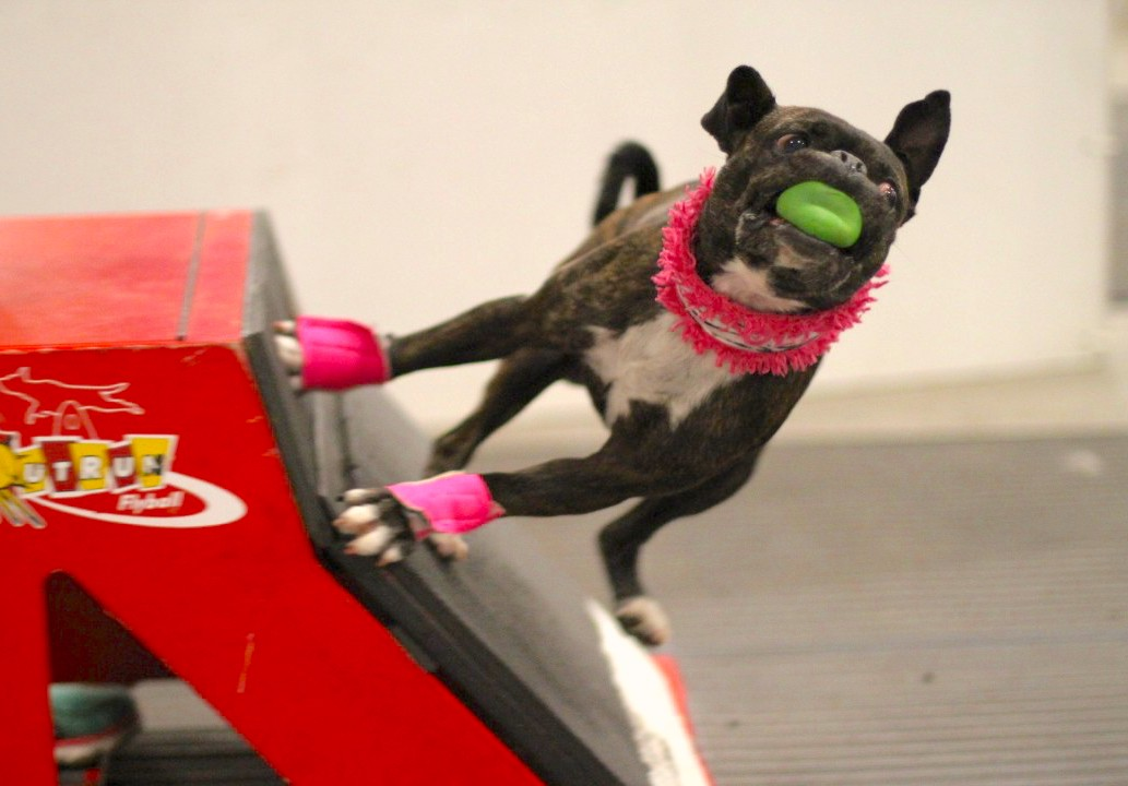 Flyball 101: How to Compete in Flyball for Dogs – American Kennel Club
