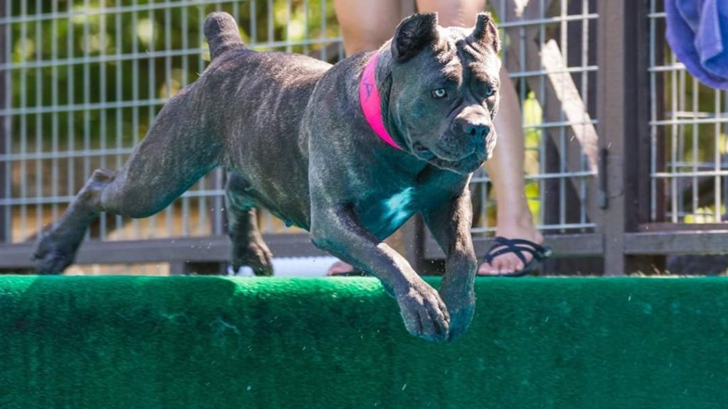 Dog Star Of The Month Reina The Cane Corso American Kennel Club