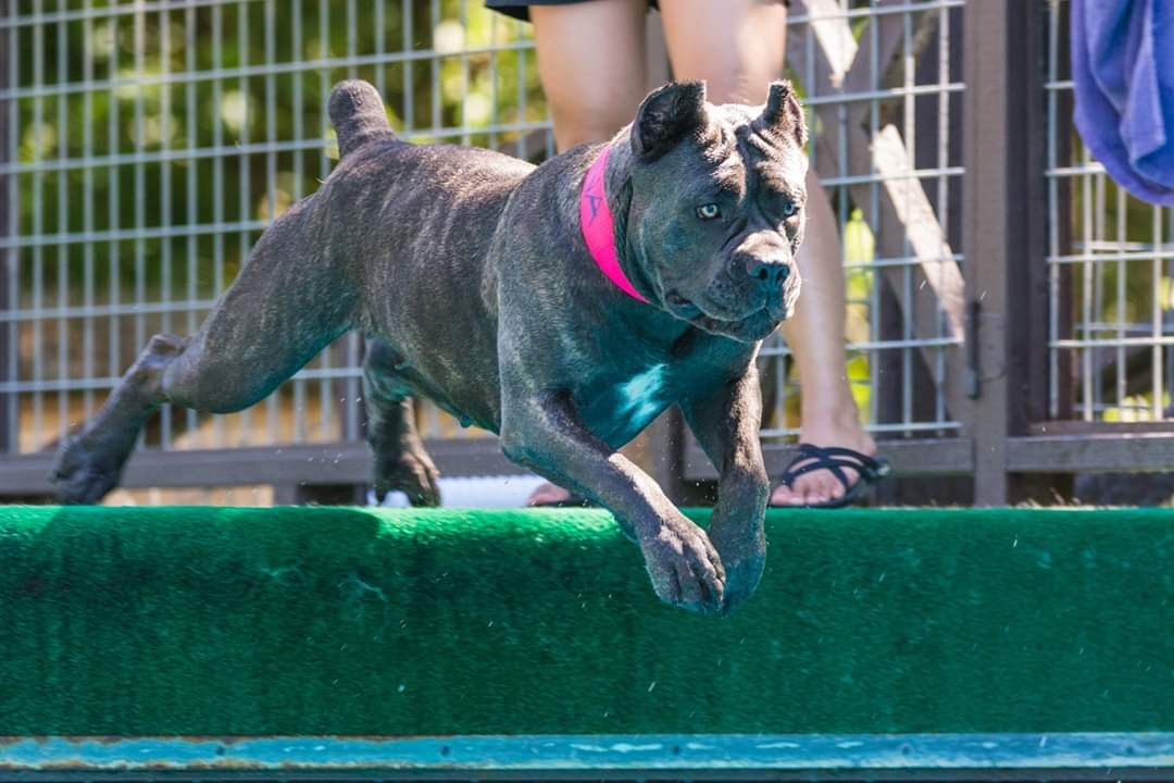 Dog Star of the Month: Reina the Cane Corso – American Kennel Club