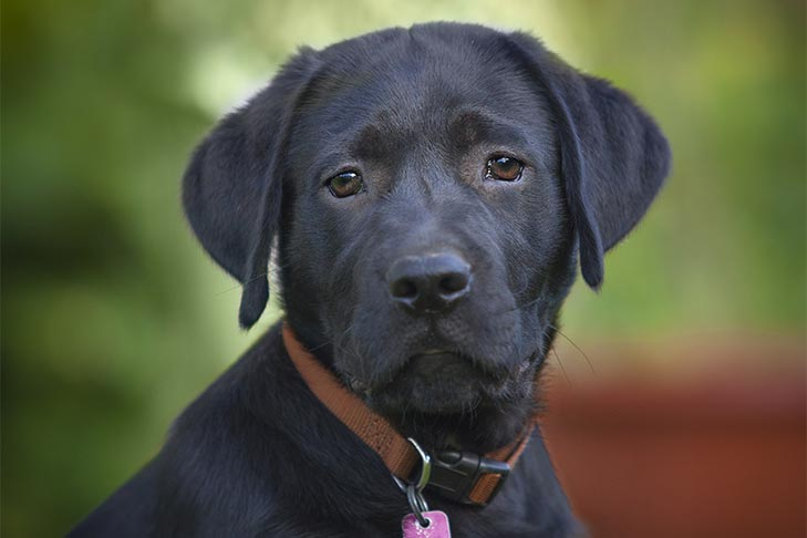 Labrador Retriever puppy wearing a flat buckle collar with tag