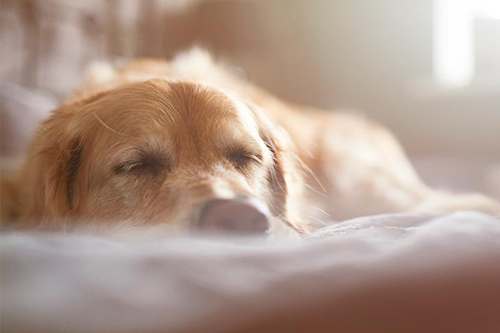 Senior Golden Retriever sleeping at home in the sunlight.
