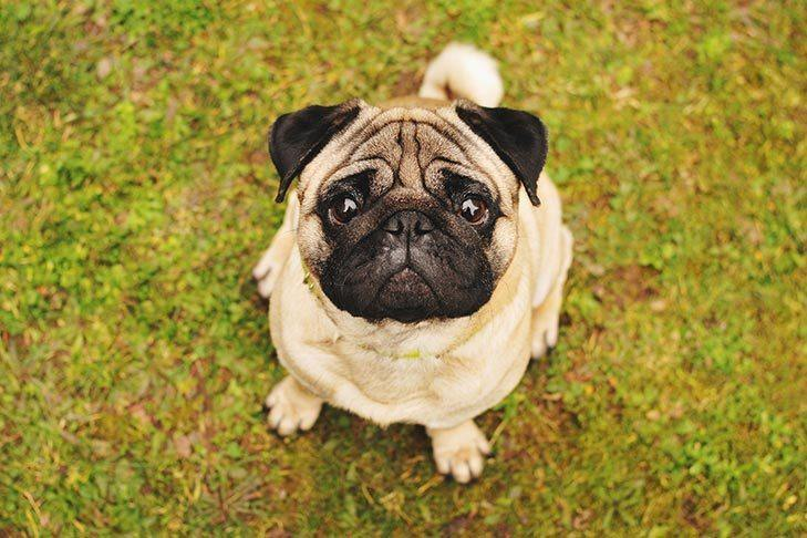 Pug sitting in the grass looking up at the viewer.