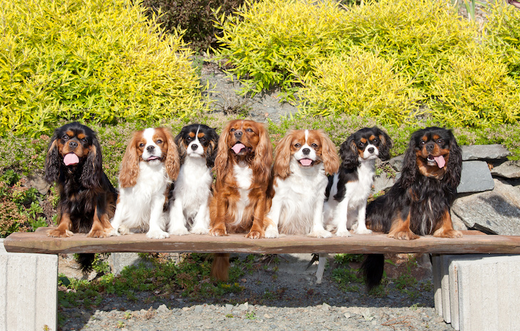 Group of Cavalier King Charles Spaniels sitting on a bench outdoors.