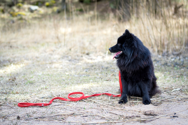 Swedish Lapphund sitting outdoors, a leash trailing from it.