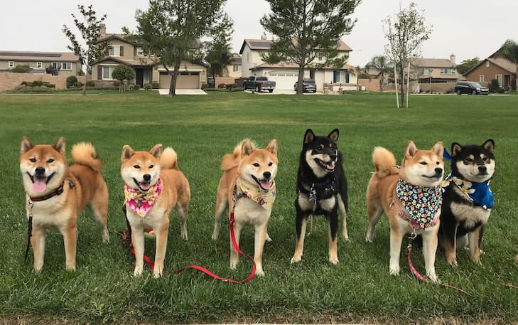 5 Shiba Inu Littermates And Their Sire Dominate Breed Fastcat Rankings
