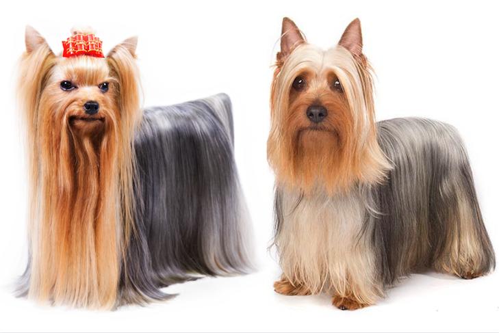 Yorkshire Terrier vs. Silky Terrier