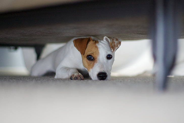 Russell Terrier hiding under the bed.