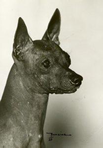 Xoloitzcuintli head portrait.