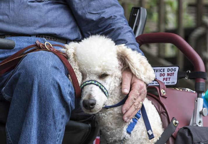 A Standard Poodle service dog gently rests its head on its owner.
