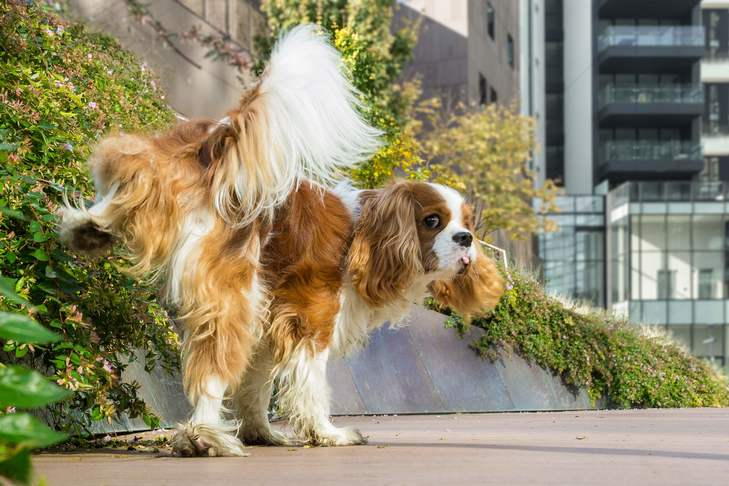 Utis In Dogs When Uti Symptoms Might Be A Sign Of Something Worse