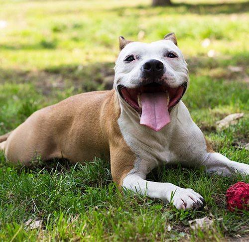 Entlebucher Outdoor Garden Dog Sign Hand Painted Figure