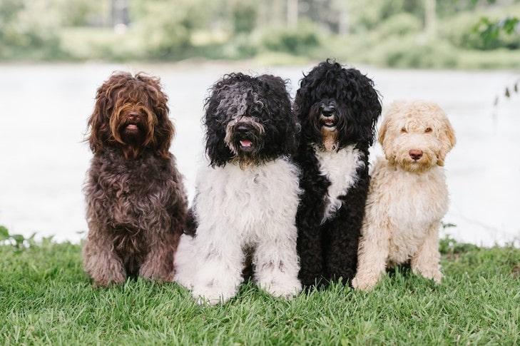 Meet The Barbet Dog Breed American Kennel Club