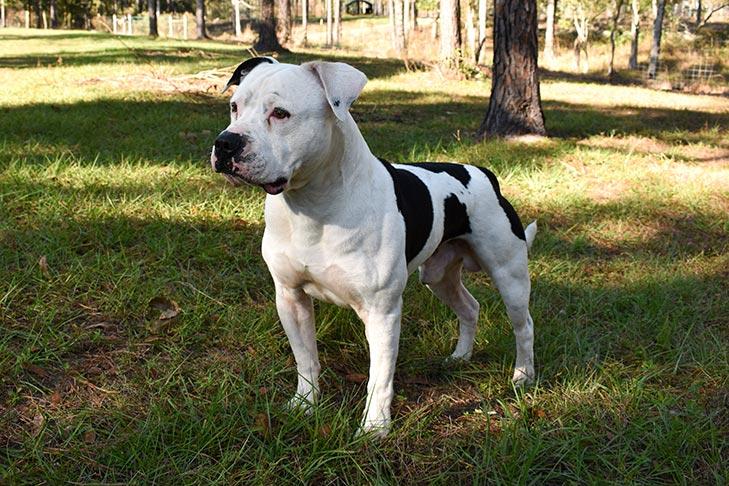 American Bulldog Dog Breed Information American Kennel Club