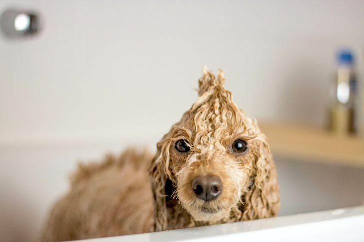 Poodle standing wet in the bathtub.